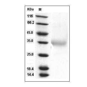 This is SDS-PAGE analysis of Human IL-24 protein, His Tag