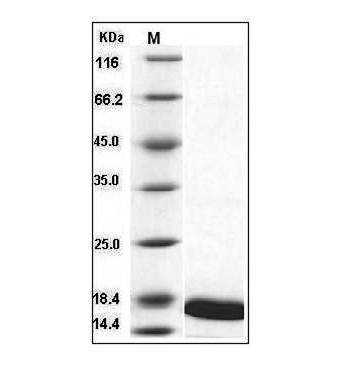 This is SDS-PAGE analysis of Mouse TNF-alpha protein