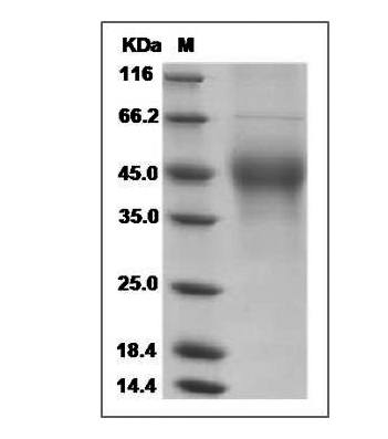 This is SDS-PAGE analysis of Mouse M-CSF protein