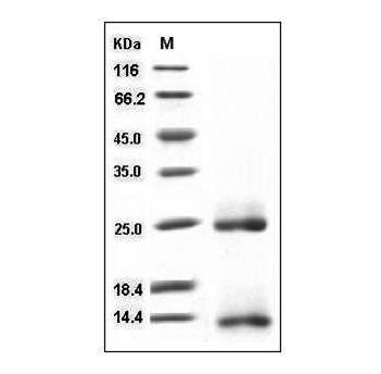 This is SDS-PAGE analysis of Mouse BMP-2 protein