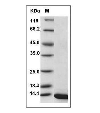 This is SDS-PAGE analysis of Rat BDNF protein
