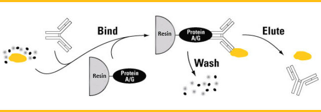 Multi-purpose PurKine™ Protein A/G Resin 4FF