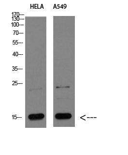 CYCS Polyclonal Antibody Released