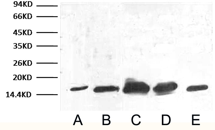 Anti-COX IV Mouse Monoclonal Antibody (14Y2) joins the Abbkine Scientific family