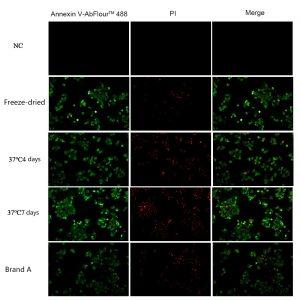 Fig. Abbkine lyophilized annexin V protein, lyophilized at 37°C for 4 days, 37°C for 7 days, and A brand annexin V protein